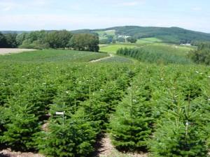 Le sapin de Noël en plastique est-il plus écologique ? 1349714052_7-Champ-sapins-de-noel_zoom-300x225