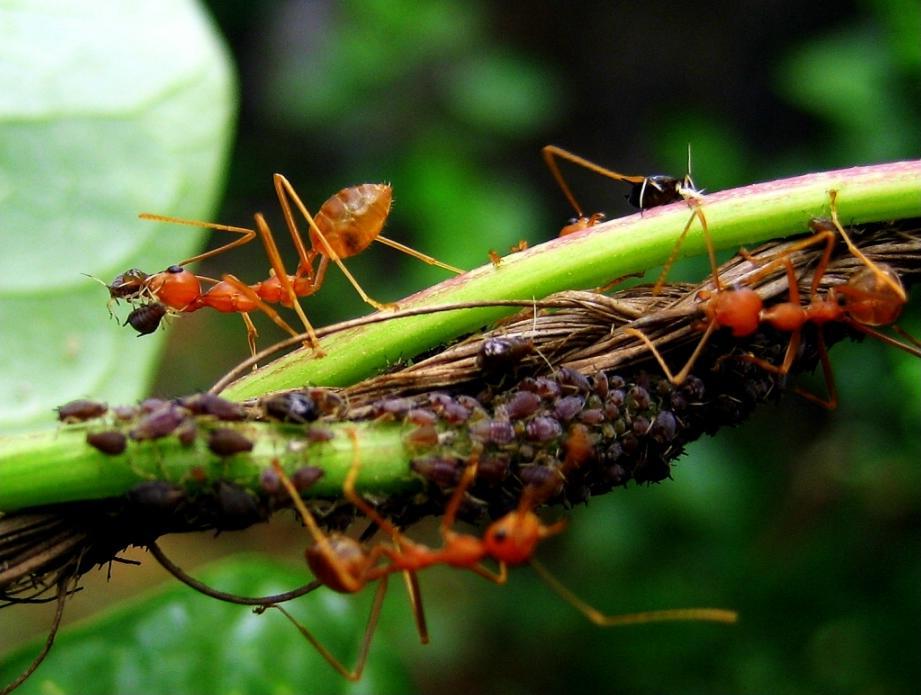 A la découverte des fourmis, des insectes ingénieux et très intelligents ! Afids_and_ants