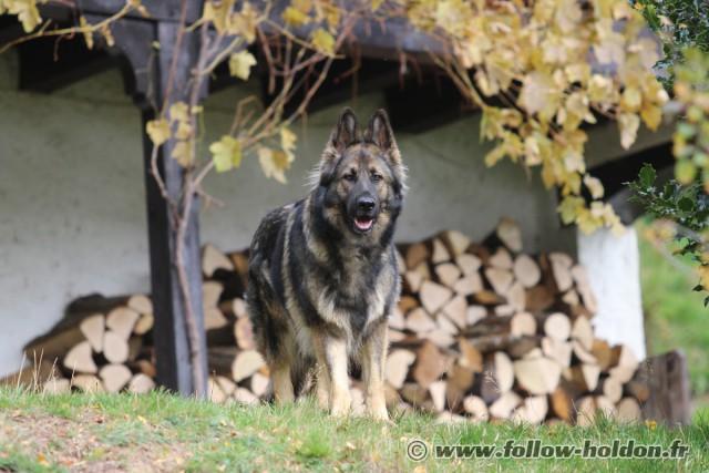 A la découverte du Altdeutscher Schäferhund IMG_4191-640x427