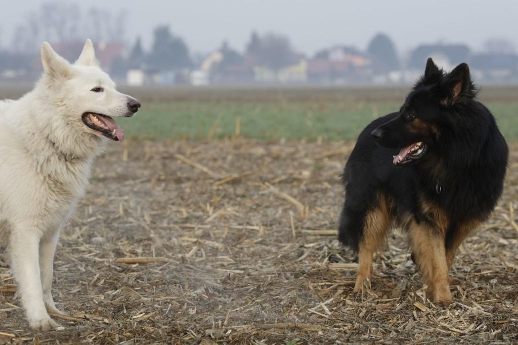 A la découverte du Altdeutscher Schäferhund Weisser-Schaeferhund-Altdeutscher-Schaeferhund-_MG_7632_02-1024x683