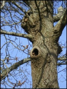 Faut-il couper les arbres creux ? arbre-creux-1-226x300