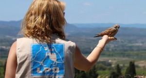 A la découverte de la LPO (Ligue pour la Protection des Oiseaux) faucon_crecerellette_lpo_herault_650-300x162