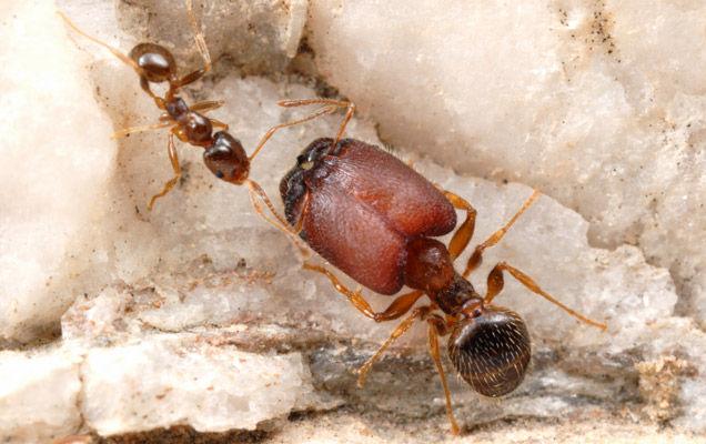 A la découverte des fourmis, des insectes ingénieux et très intelligents ! fourmi-supersoldat-pheidole