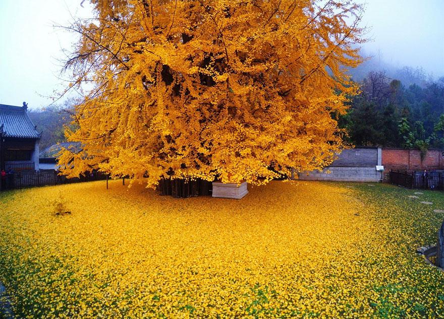 Un arbre de 1400 ans tapisse le sol de ses feuilles dorées gingko-arbre-jaune-1