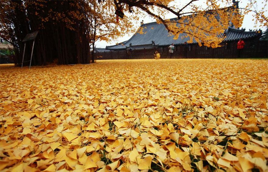 Un arbre de 1400 ans tapisse le sol de ses feuilles dorées gingko-arbre-jaune-2