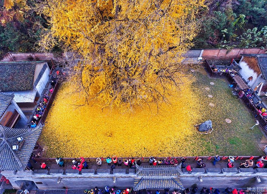 Un arbre de 1400 ans tapisse le sol de ses feuilles dorées gingko-arbre-jaune-3