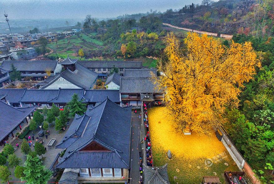 Un arbre de 1400 ans tapisse le sol de ses feuilles dorées gingko-arbre-jaune-4
