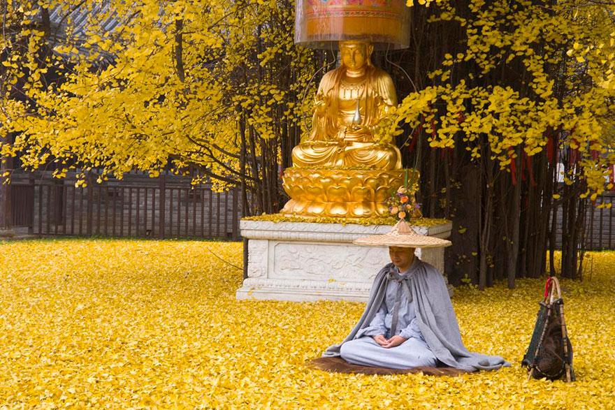Un arbre de 1400 ans tapisse le sol de ses feuilles dorées gingko-arbre-jaune-5