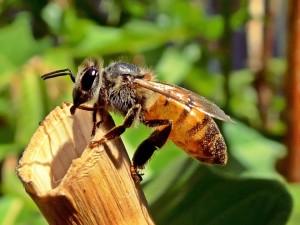 Le miel et les abeilles honeybee-525224_960_720-300x225