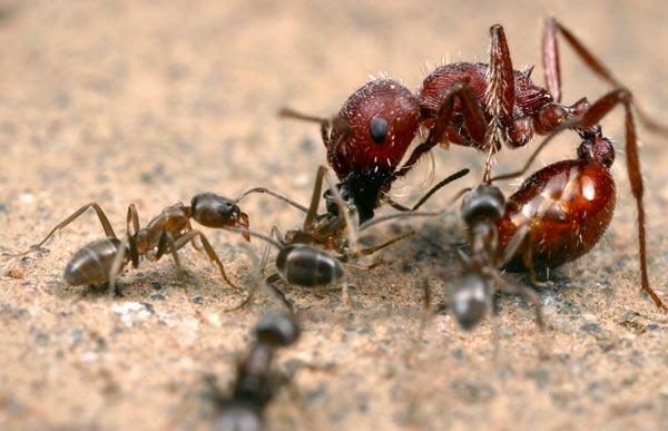 A la découverte des fourmis, des insectes ingénieux et très intelligents ! linepithema-humile-invade-europe