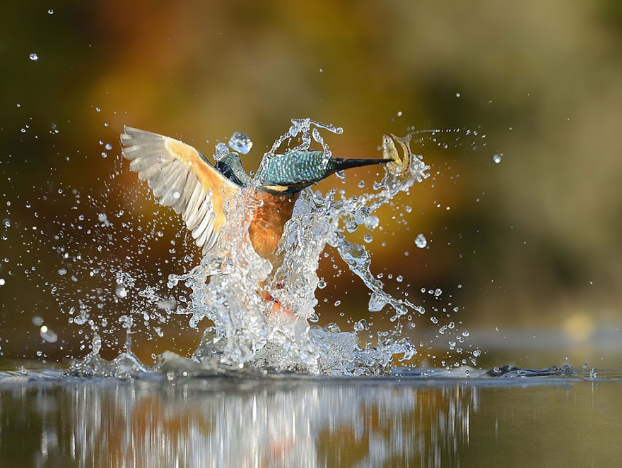 Ce photographe capture LA photo parfaite d'un martin-pêcheur photo-parfaite-martin-pecheur-4