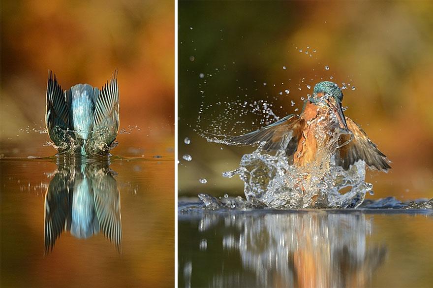 Ce photographe capture LA photo parfaite d'un martin-pêcheur photo-parfaite-martin-pecheur-6