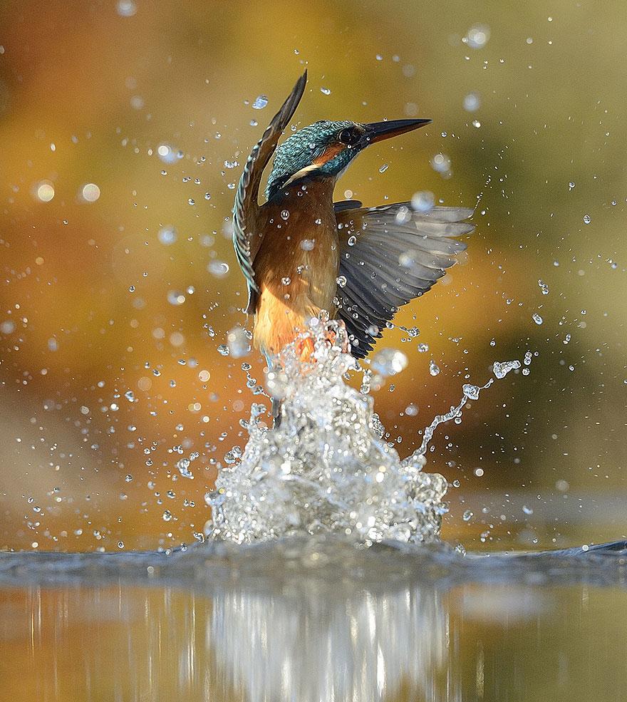 Ce photographe capture LA photo parfaite d'un martin-pêcheur photo-parfaite-martin-pecheur-7