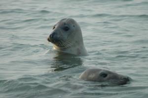 Oui il y a des phoques en France ! pt12182-300x199