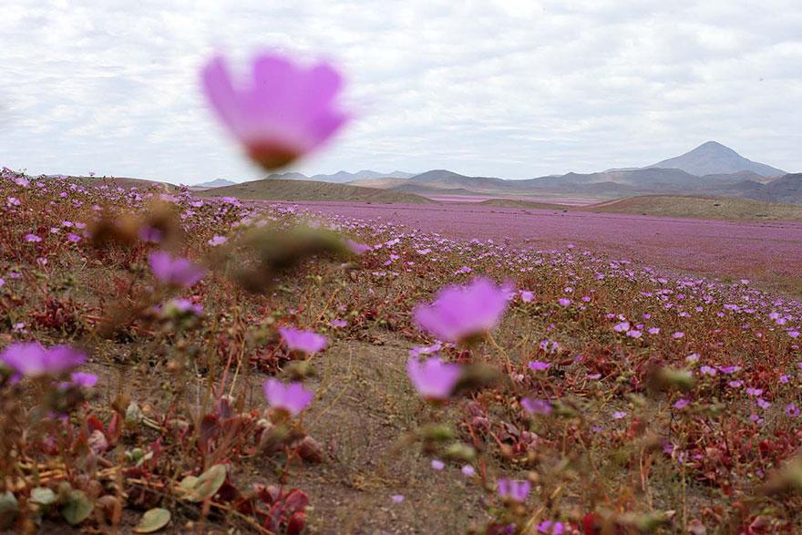 Quand la pluie tombe, voici à quoi ressemble le désert le plus aride de notre planète desert-atacama-chili-fleurs-1