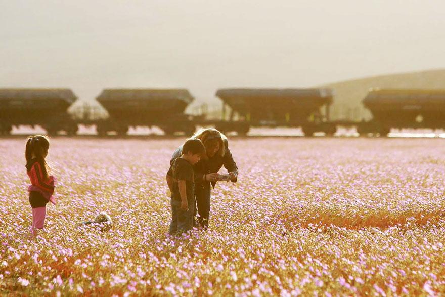 Quand la pluie tombe, voici à quoi ressemble le désert le plus aride de notre planète desert-atacama-chili-fleurs-2