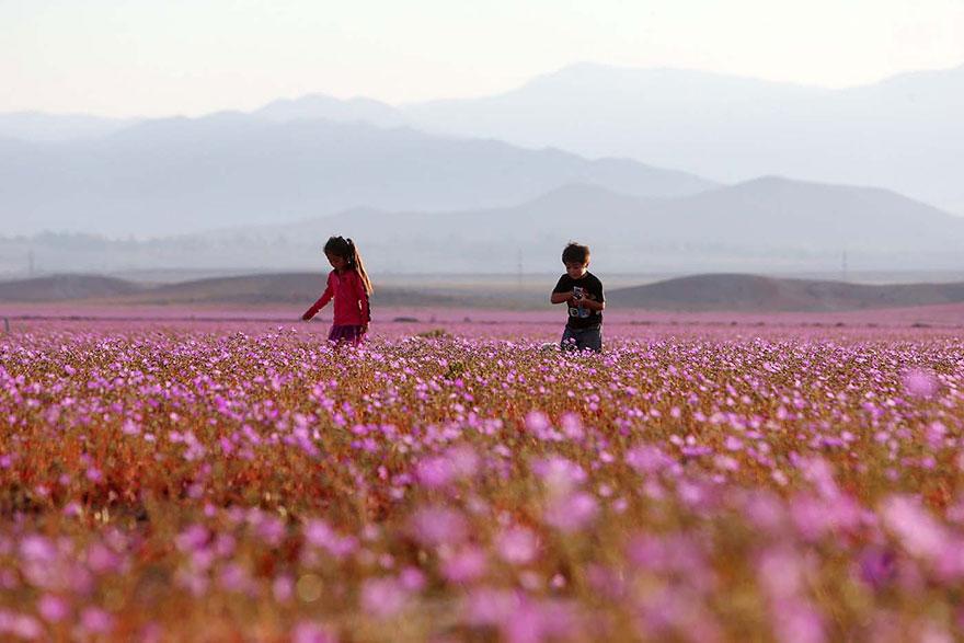 Quand la pluie tombe, voici à quoi ressemble le désert le plus aride de notre planète desert-atacama-chili-fleurs-3