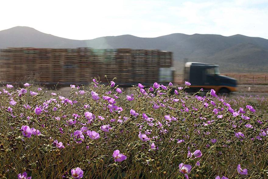 Quand la pluie tombe, voici à quoi ressemble le désert le plus aride de notre planète desert-atacama-chili-fleurs-4