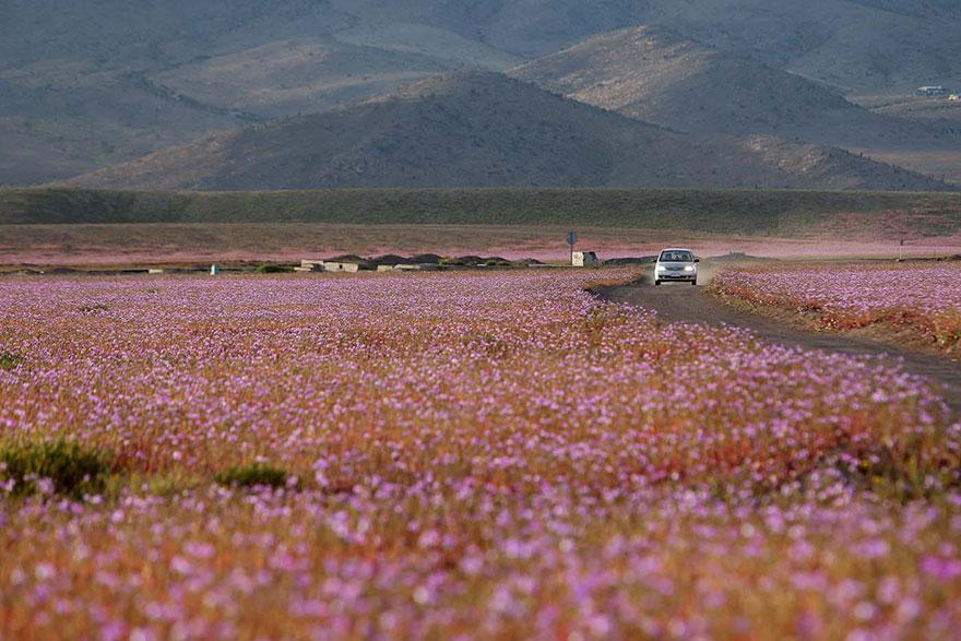 Quand la pluie tombe, voici à quoi ressemble le désert le plus aride de notre planète desert-atacama-chili-fleurs-5