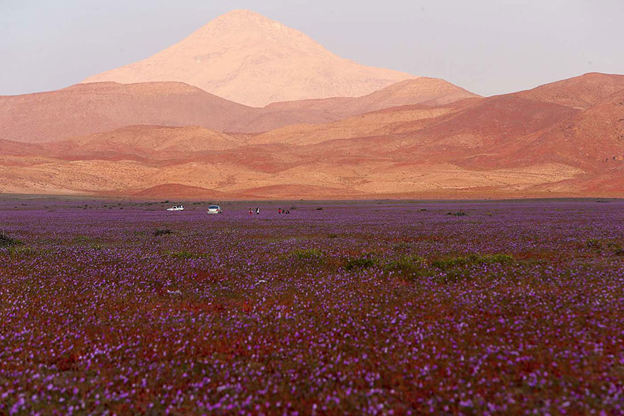 Quand la pluie tombe, voici à quoi ressemble le désert le plus aride de notre planète desert-atacama-chili-fleurs-6