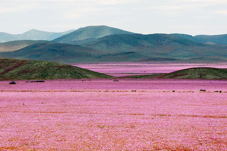 Quand la pluie tombe, voici à quoi ressemble le désert le plus aride de notre planète desert-atacama-chili-fleurs-7
