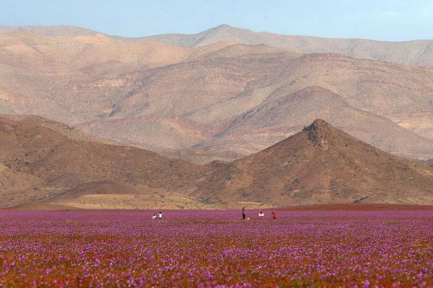 Quand la pluie tombe, voici à quoi ressemble le désert le plus aride de notre planète desert-atacama-chili-fleurs-8